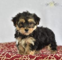 Only 2 available! Morkie pups! **Vaccinated**