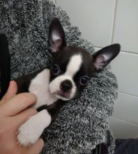 Adorable Boston Terrier Puppies Text (929) 274-0226