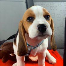 Super adorable Beagles Puppies.