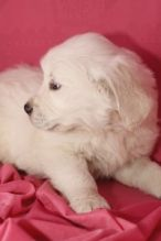 Two golden retriever puppies for adoption .