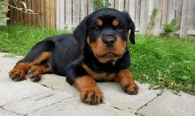 Adorable Rottweiler Puppies For Adoption Image eClassifieds4U