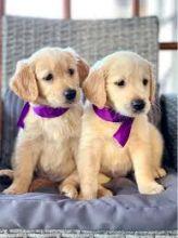 CKC Golden Retriever puppies. Call or text @(431) 803-0444