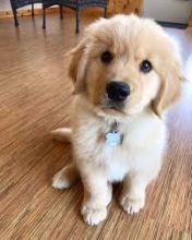 Cute Registered Golden Retriever puppies for adoption. Call or text @(431) 803-0444
