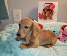 super adorable Dachshund - Miniature Puppies (306) 500-3579