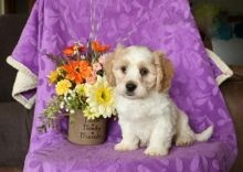 Cavachon Puppies ♥️