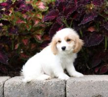CBCA Reg'd Cavachon Puppies