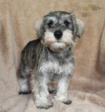 CBCA Reg'd Miniature Schnauzer Puppies
