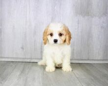 CKC Cavachon Pups, 2 still available! Ready to go this week!
