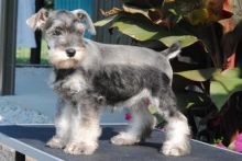 CKC Miniature Schnauzer Pups, 2 still available! Ready to go this week!