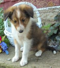 CKC Sheltie Pups, 2 still available! Ready to go this week!