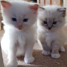Ragdoll Kittens Ready For Adoption