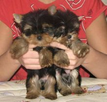 Yorkie Terrier Puppies - Ready Now!!!