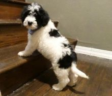 Portuguese Water Dog Puppies For Rehoming