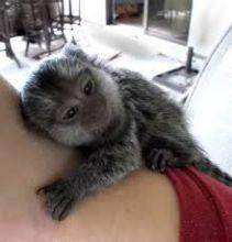 Very Cute and Pretty baby marmoset monkeys,