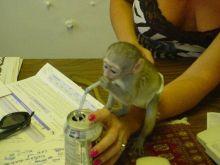 Very healthy and cute Capuchin monkeys.
