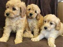 Beautiful erpoo puppies