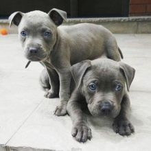 Cute blue nose pitbull puppies for adoption