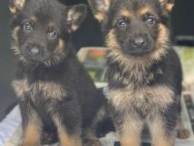 German Shepherd Puppies*** 1 Boy & 1 Girl *** READY NOW