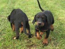 Home Raised Doberman Pinscher Puppies