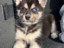Staggering Siberian Husky Puppies For Adoption