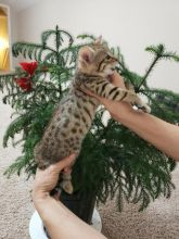 Two male and female Savannah kittens available