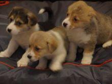 Welsh corgi pembrokeshire Puppies available