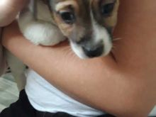 Adorable Jack Russel Terrier puppies for new home