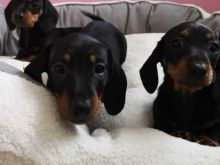 Charming And Well Trained Dachshund Puppies