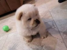 Ckc ☮ Male 🐕 Female Chow Chow Puppies 🏠💕