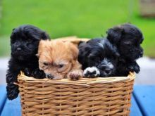 MALE AND FEMALE HAVANESE PUPPIES AVAILABLE