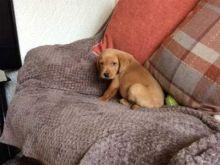 Wonderful Labrador Retrievers puppies available