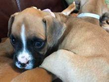 Good Boxer Puppies For Adoption