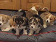 Beautiful Corgi Puppies male and female puppies for adoption