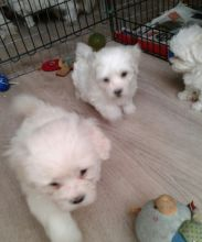 Excellence Maltese Puppies Male and Female for adoption