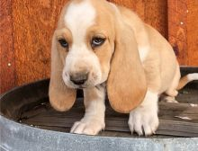 Wonderful Basset Hound Puppies Male and Female for adoption