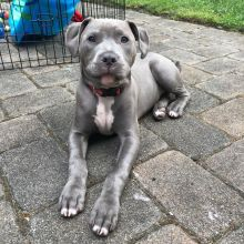 Cute Blue Nose Pitbull Puppies available for adoption Email us annamelvis225@gmail.com