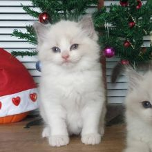 Cute Ragdoll Kitten available for adoption Email us annamelvis225@gmail.com