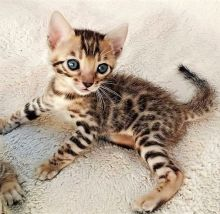 Lovely Bengal Kitten available for adoption Email us annamelvis225@gmail.com