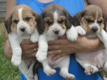 Sweet Male and Female Beagle puppies for adoption.