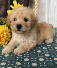 🐶🐶 C.K.C MALE 🐶 FEMALE 🐶 TOY POODLE 🐶 PUPPIES $650 🐶