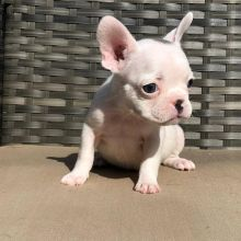 Awesome French Bulldog available for adoption Email us annamelvis225@gmail.com