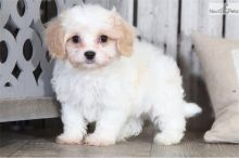 Amazing male and female Cavapoo puppies available