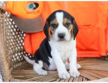 Cute and lovely male and female Beagle puppies available for adoption