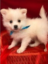 Healthy Home raised male and female Pomeranian puppies available