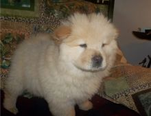 Nice and lovely A.K.C registered male and female Chow Chow puppies Available