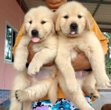 Super adorable male and a female Golden Retriever puppies available