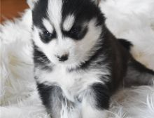Amazing Pomsky puppies, a male and female.