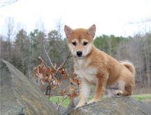 Amazing Shiba inu puppies, a male and female