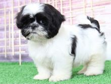 Beautiful Shih tzu puppies just turned 12 weeks