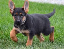 Charming German shepherd puppies available
